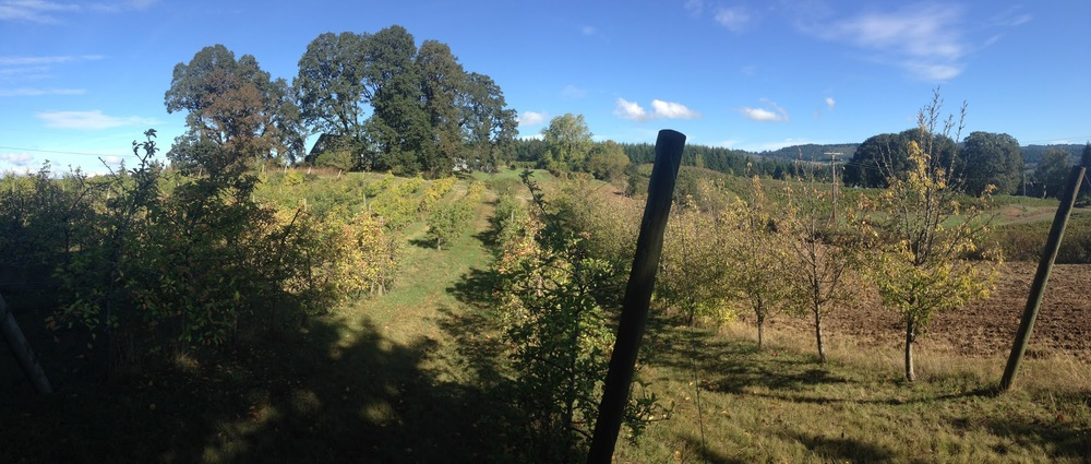 The heirloom apple orchard outside of Newberg, Oregon,where Cider Riot gets apples from.