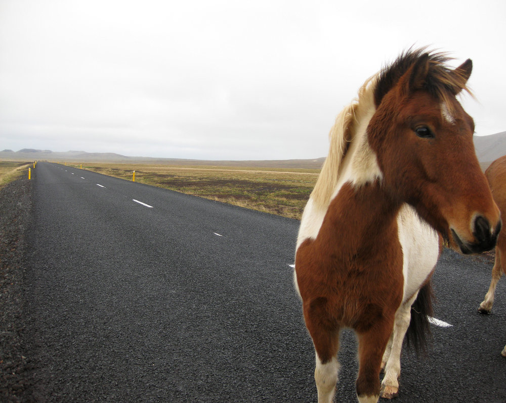 2010-10-Iclandic-Pony.jpg