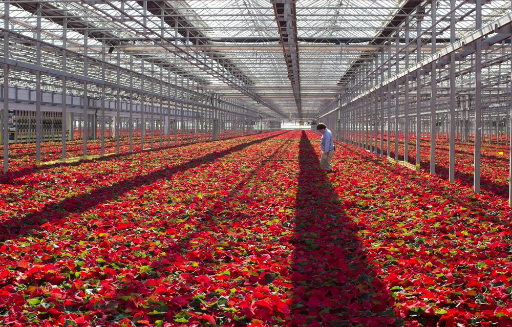 Blanton Sheorn, a head grower at Metrolina Greenhouses, walks through a greenhouse full of poinsettias Wednesday November 20, 2013 in Huntersville, N.C.