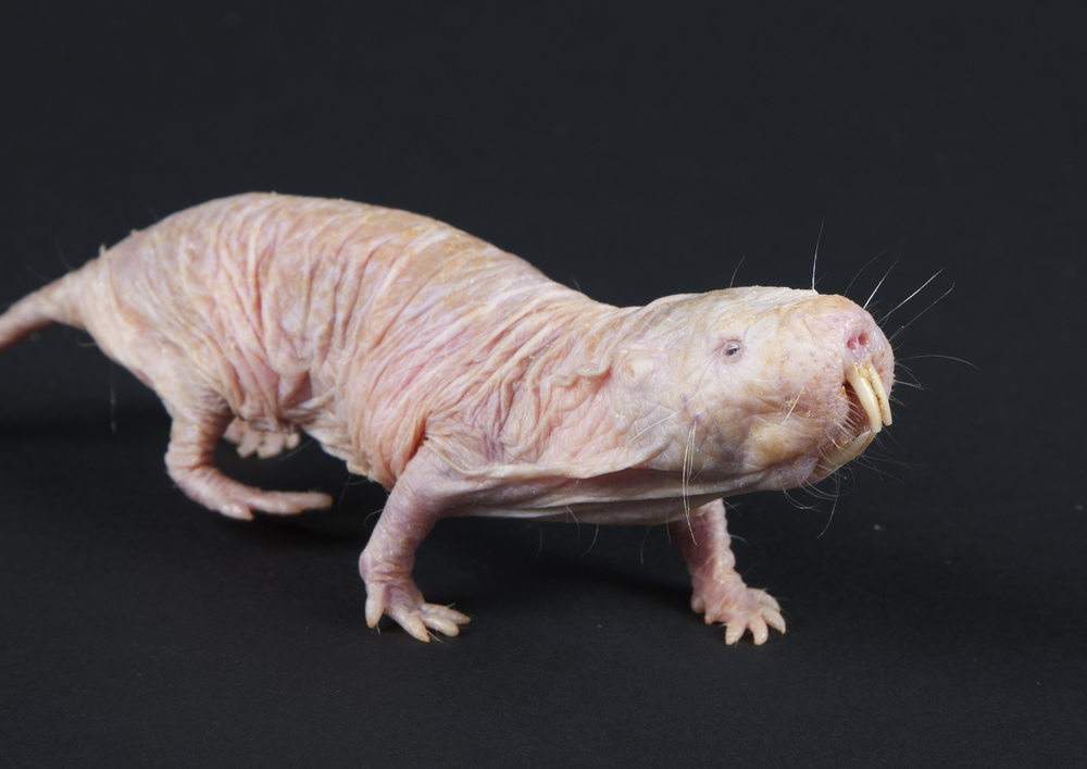 Yet another picture of a naked mole rat. You know you wanted it.