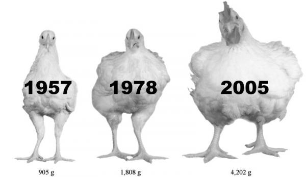 Photo : Zuidhof, MJ, et al. 2014 Poultry Science