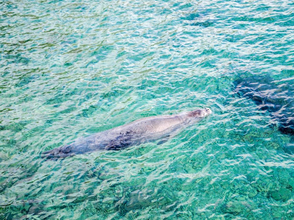 Mediterranean-Monk-Seal