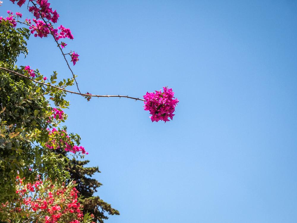 Bougainvillea blossom in Valle dei Templi