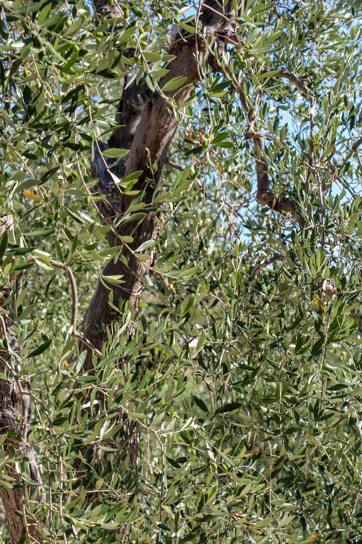 Olive trees on Gargano peninsula, Italy
