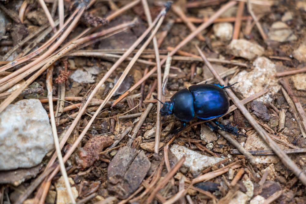 Blue-bug