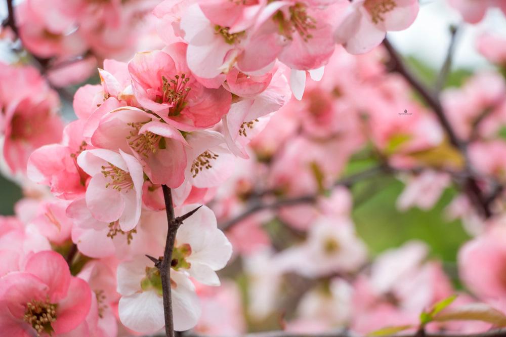 Blossoms-Japan