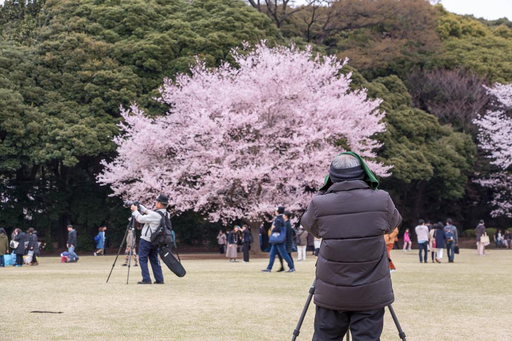 Shinjuku-Gyoen-Sakura