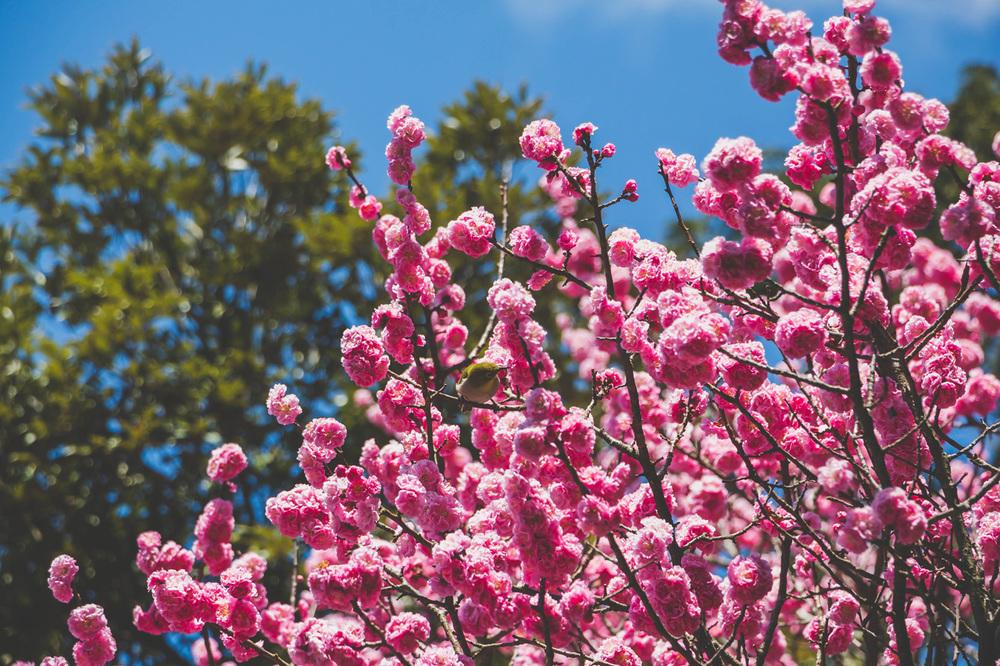 Ume-plum-blossom