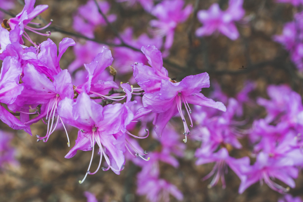 Magenta-flowers