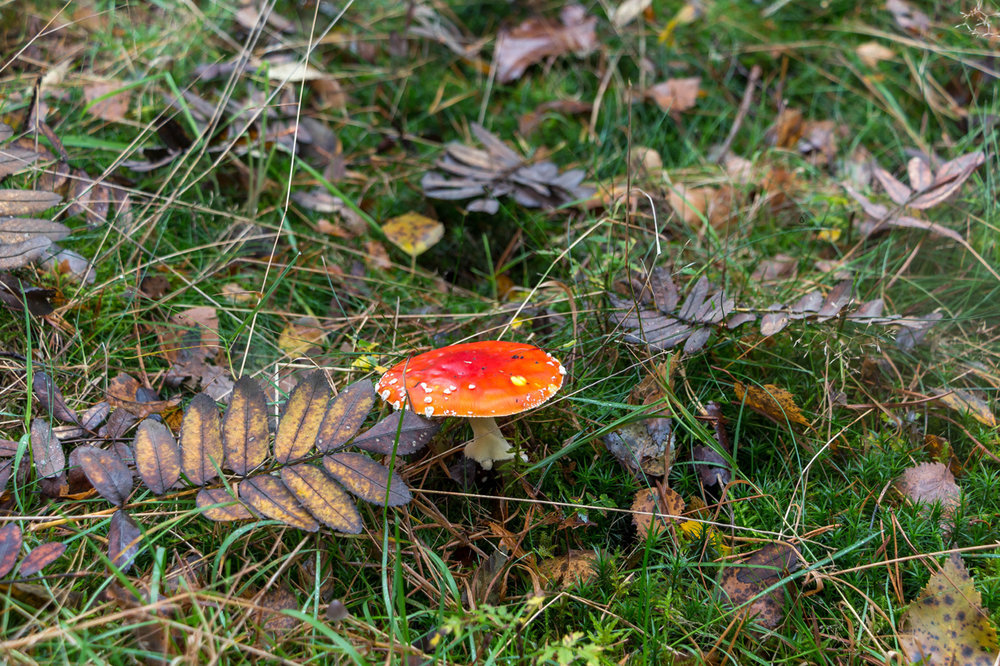 Amanita-mushroom