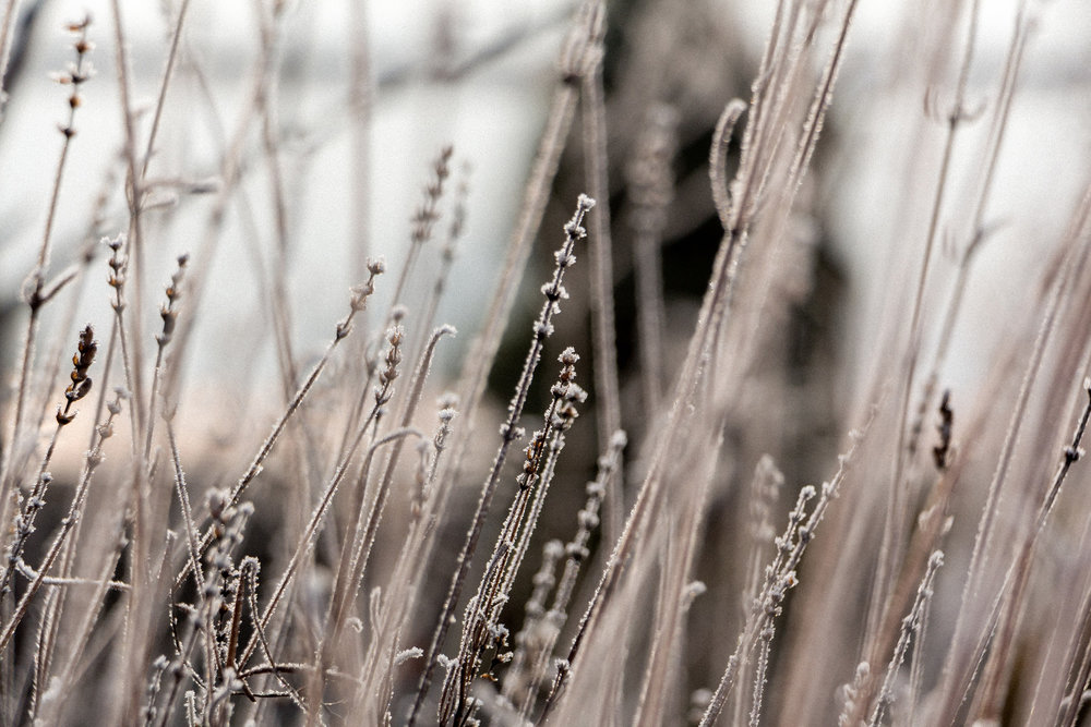 Lavender-in-the-winter