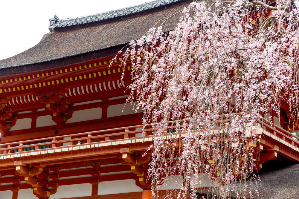 Nara-cherry-blossoms