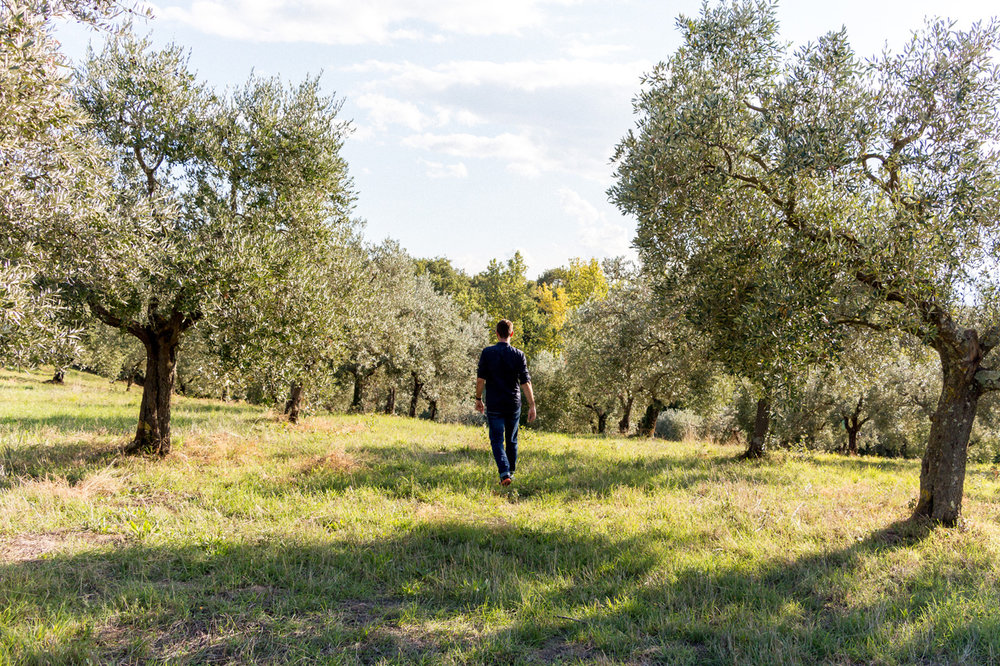 Umbria olive groves
