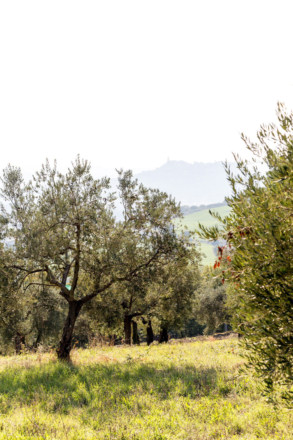 Olive groves around Todi, Umbria