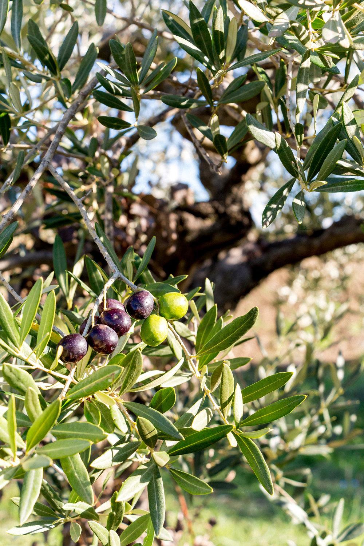 Olives, Umbria