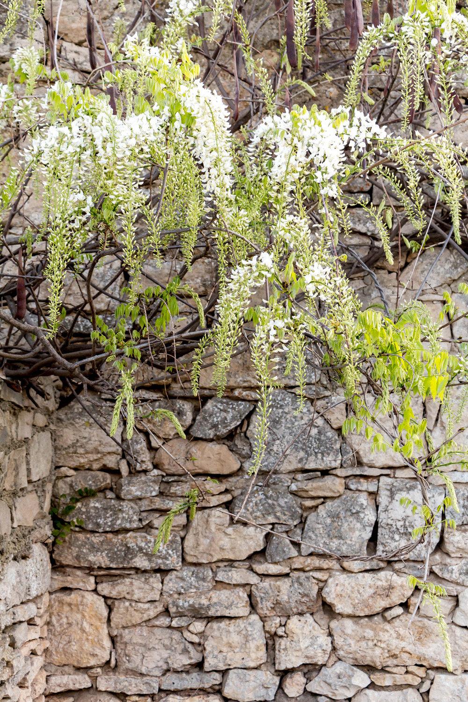 White wisteria blossoms, Istria