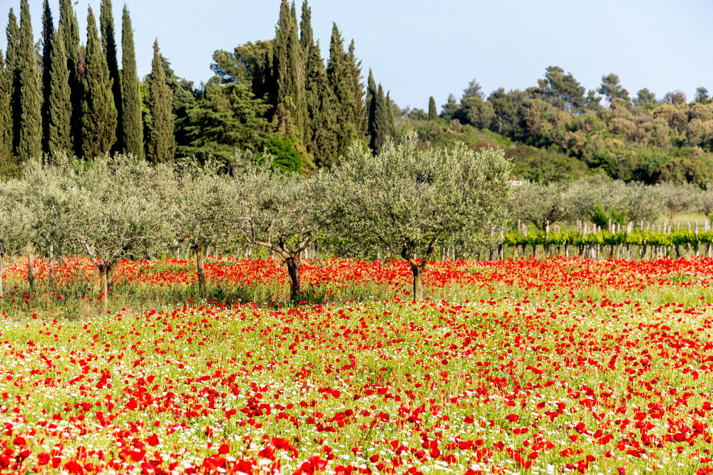 Poppy fields near Rovinj, Istria