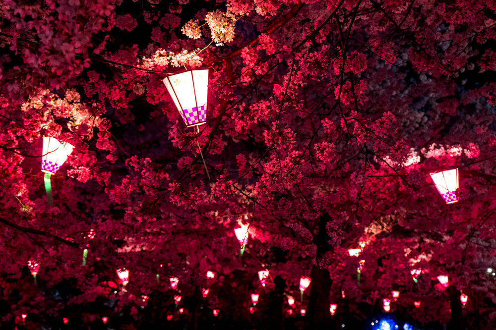 Hanami by night in Tsurumai park, Nagoya