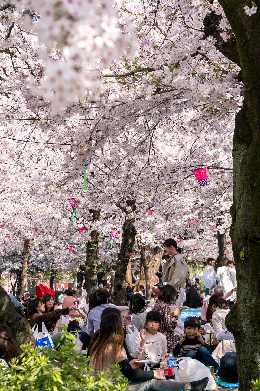 Hanami festival in Nagoya, Tsurumai park