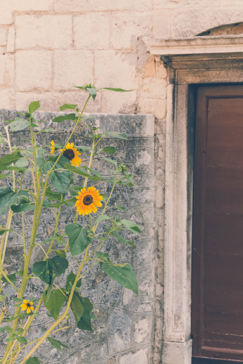Sunflowers in Istria