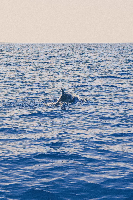 Dolphins near Cape Kamenjak, Istria