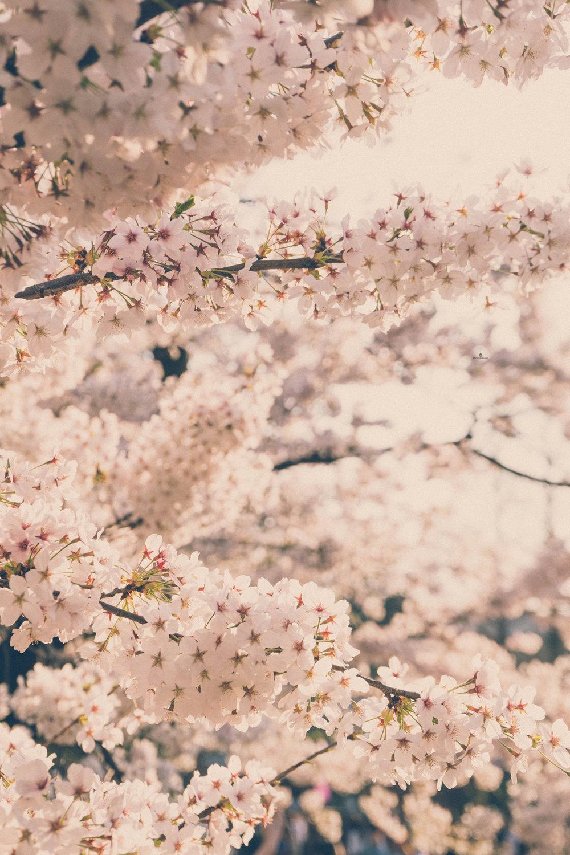 Cherry blossoms in Tsurumai Park, Nagoya