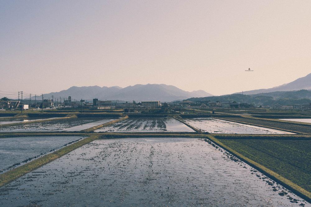 Rice fields in Iga