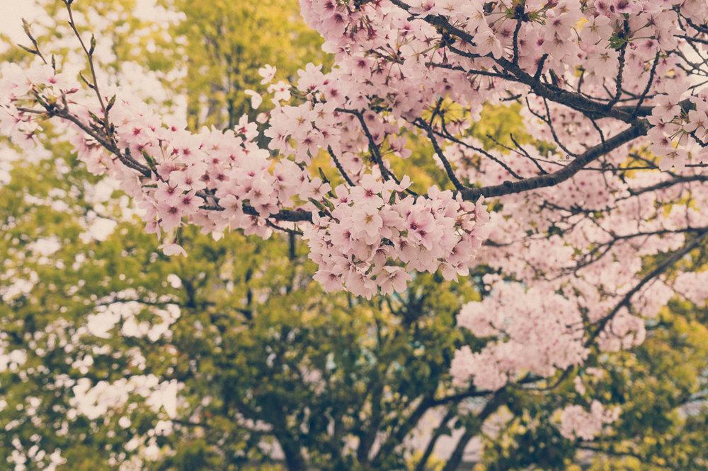 Cherry blossoms in Kobe