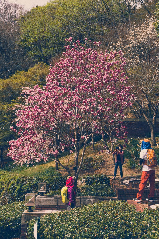Magnolia blossom in Nunobiki Herb Garden, Kobe