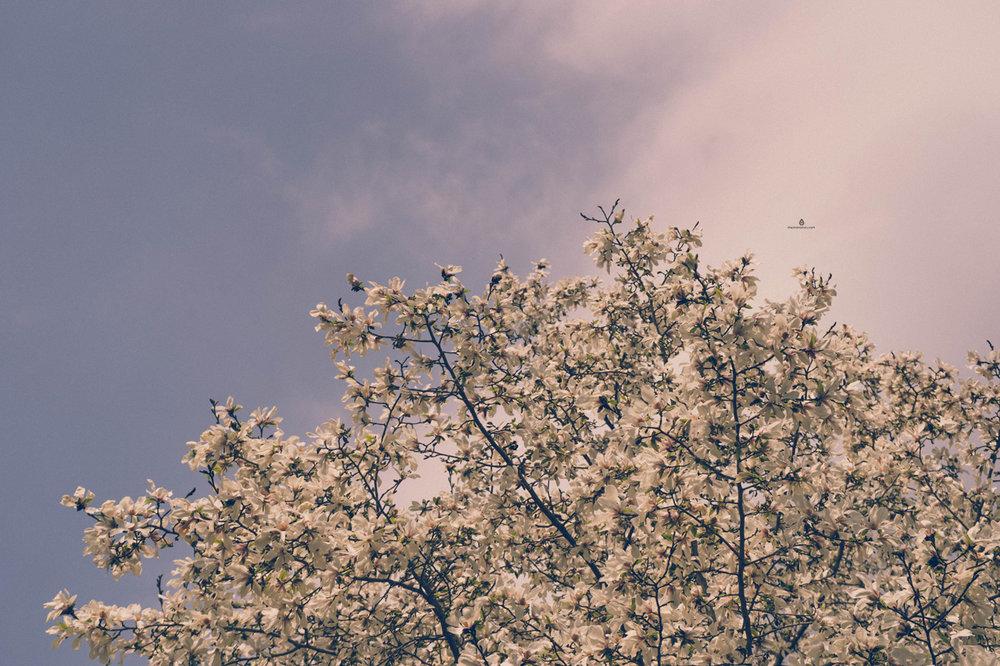 Blossoms, Kobe