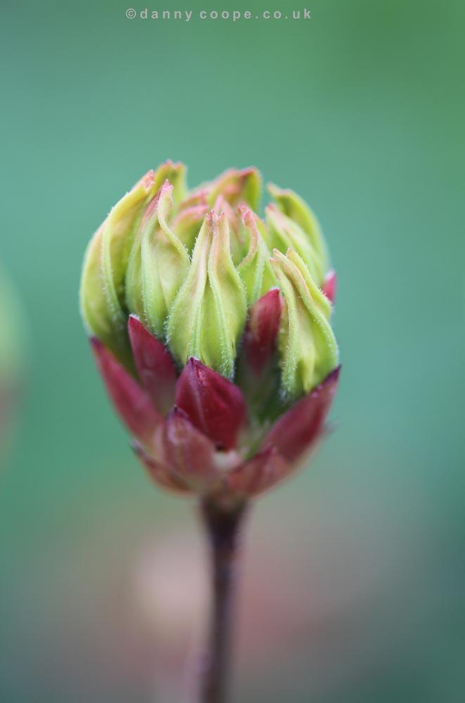 rhodo-luteum-bud.jpg