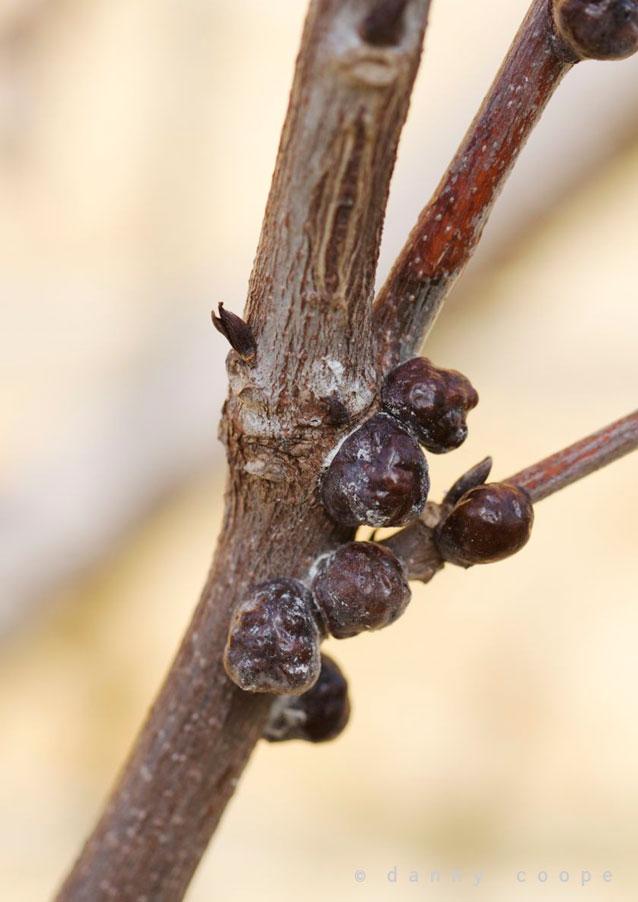 wisteria-scale.jpg