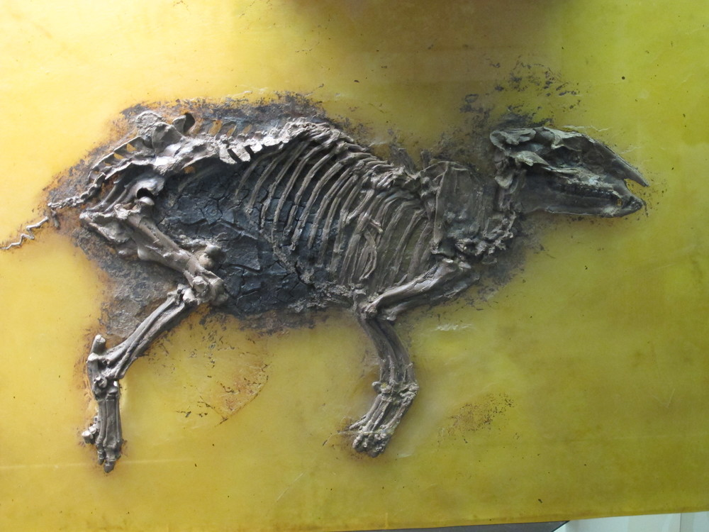 Early Horse from Messel Grub - note the multiple toes