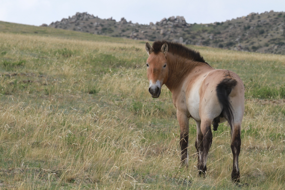 Przewalskii's Horse at Hustai National Park in Mongolia