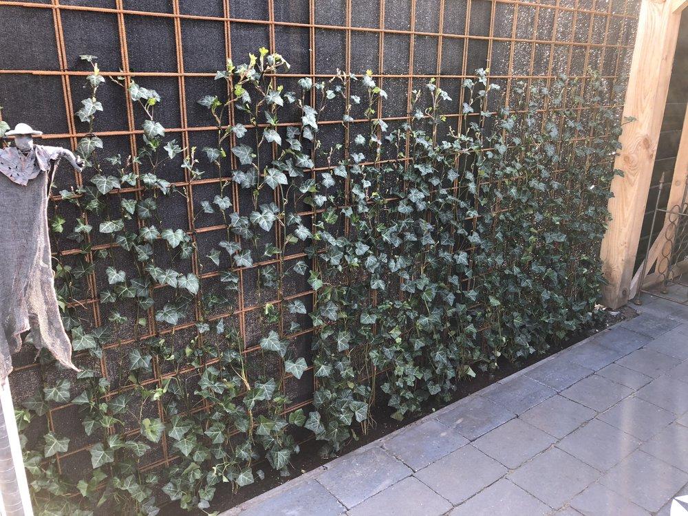 De coniferen zijn er uitgehaald en daarvoor in de plaats is dit betonijzer geplaatst met zwart tuindoek aan de achterkant tegen inkijk en klimop geplant aan de voorzijde.