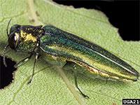 Emerald Ash Borer - Courtesy of David Cappaert, Michigan State