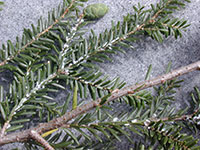 Hemlock Woolly Adelgid -Courtesy NH Department of Agriculture