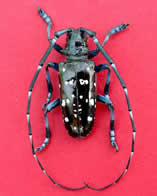 Asian Longhorned Beetle - Courtesy of UNH Cooperative Extension