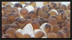 Bradford eggs ready to hatch.jpg