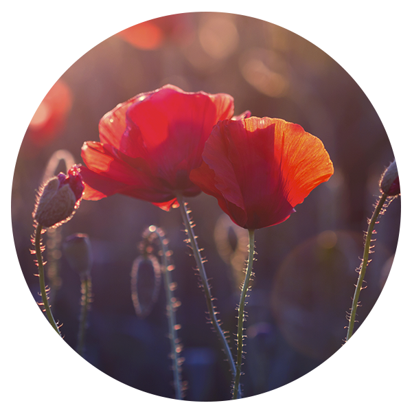 poppy_02a.png
