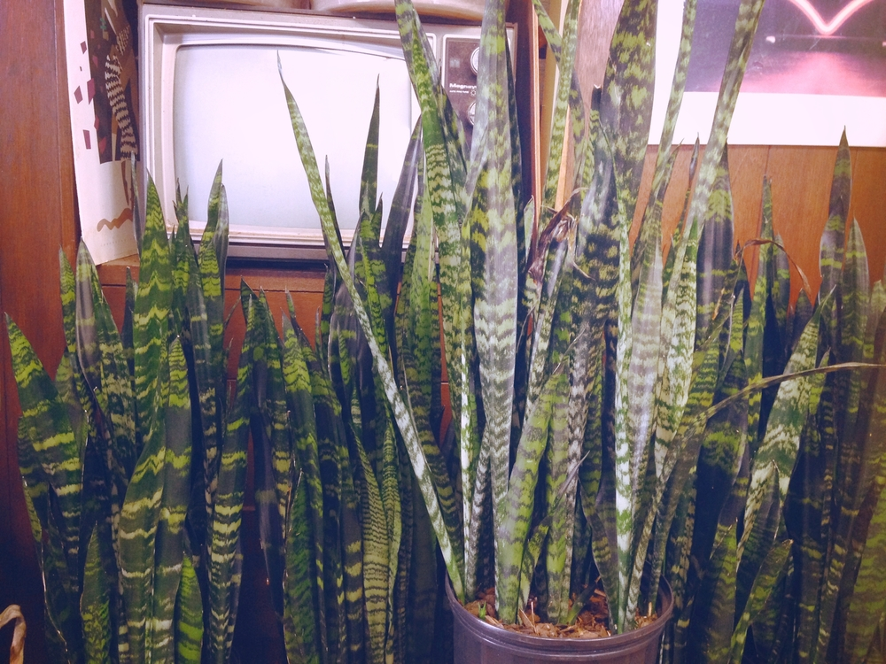 Snakeplants2.jpg