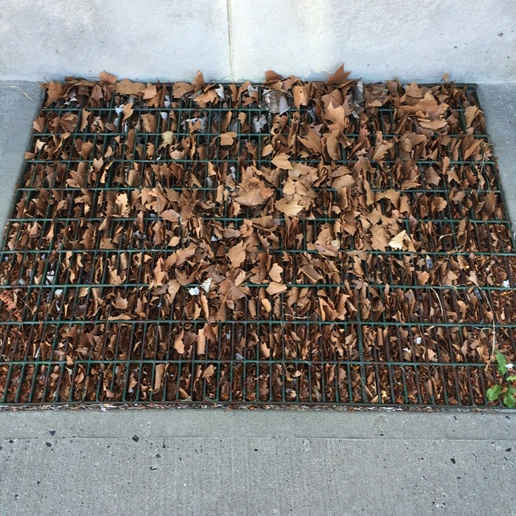 We encountered this grate just a few days ago, in Avon-by-the-Sea, on our way to the cafe From Seed to Sprout. They seemed newly fallen, but there was no tree nearby.