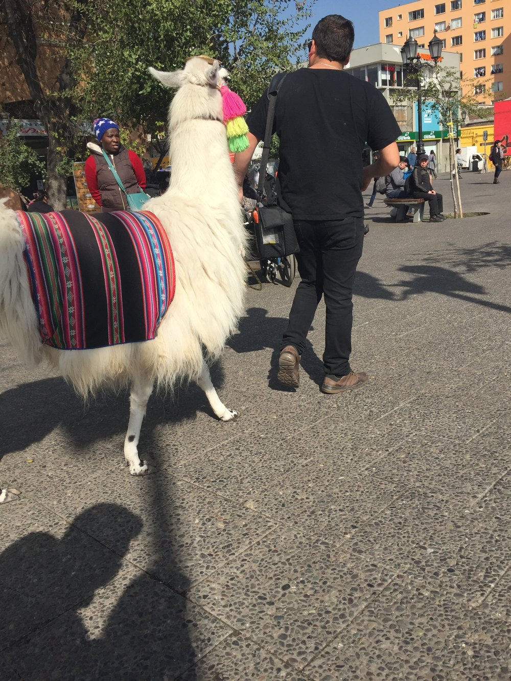 This alpaca wouldn't look at me.