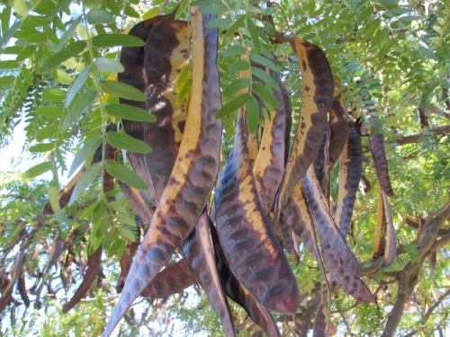 Some sumptuous Carob pods off the Spanish Coast
