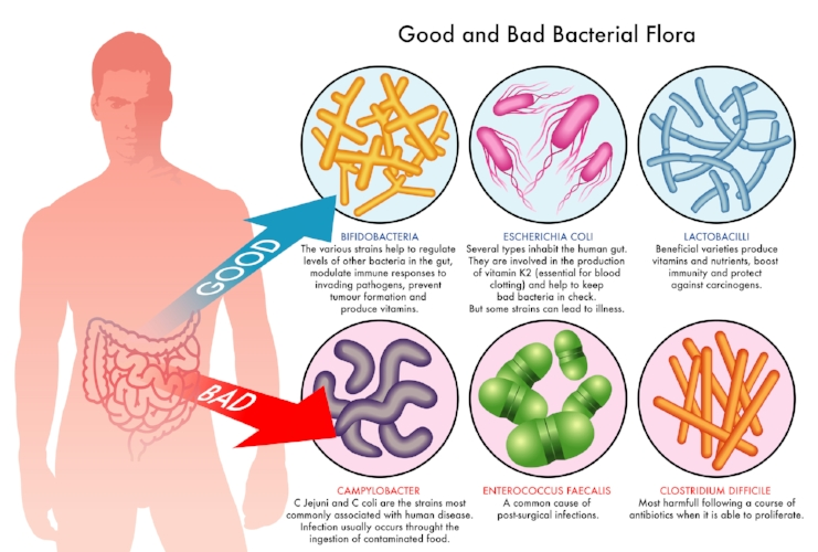 Yacon gives Bifidobacteria and Lactobacilli a helping hand!  (3)