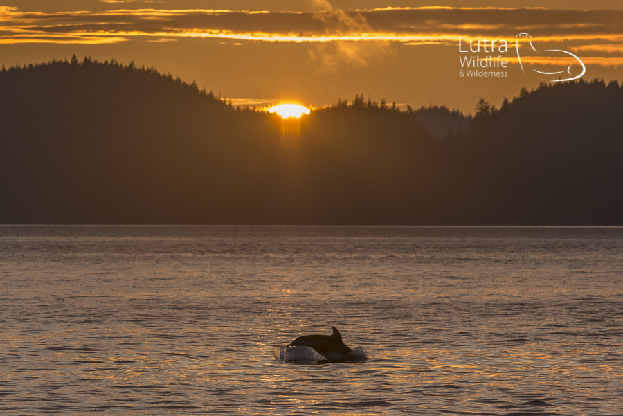 Pacific White-sided Dolphin, Broughton Archipelago
