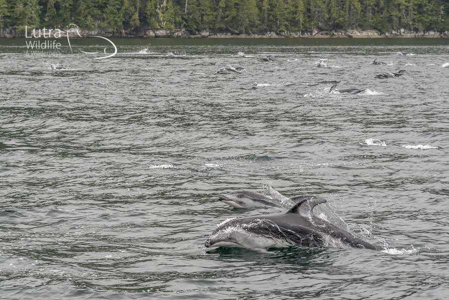 Pacific White-sided Dolphins, Broughton Archipelago