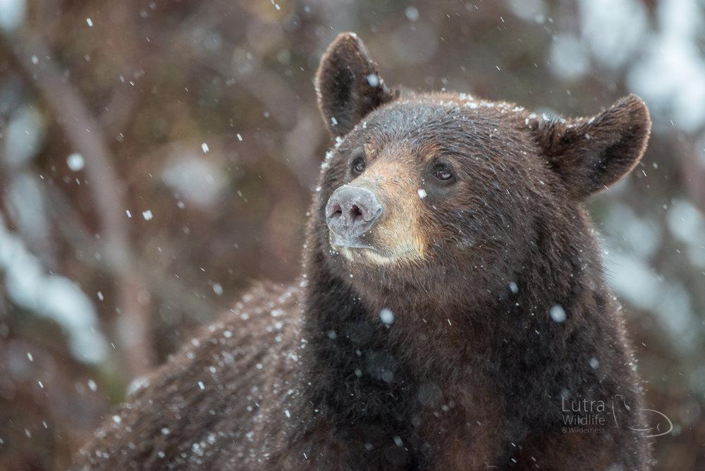 Black Bear Mum