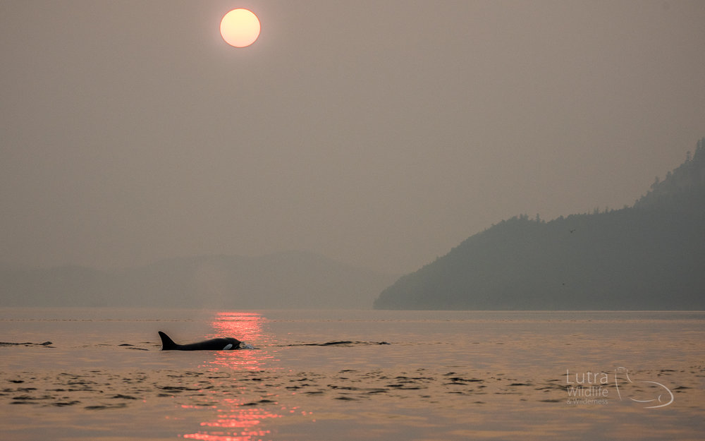 The nearby forest fires gave the sunset a dramatic haze of red...  - Ultimate Killer Whale