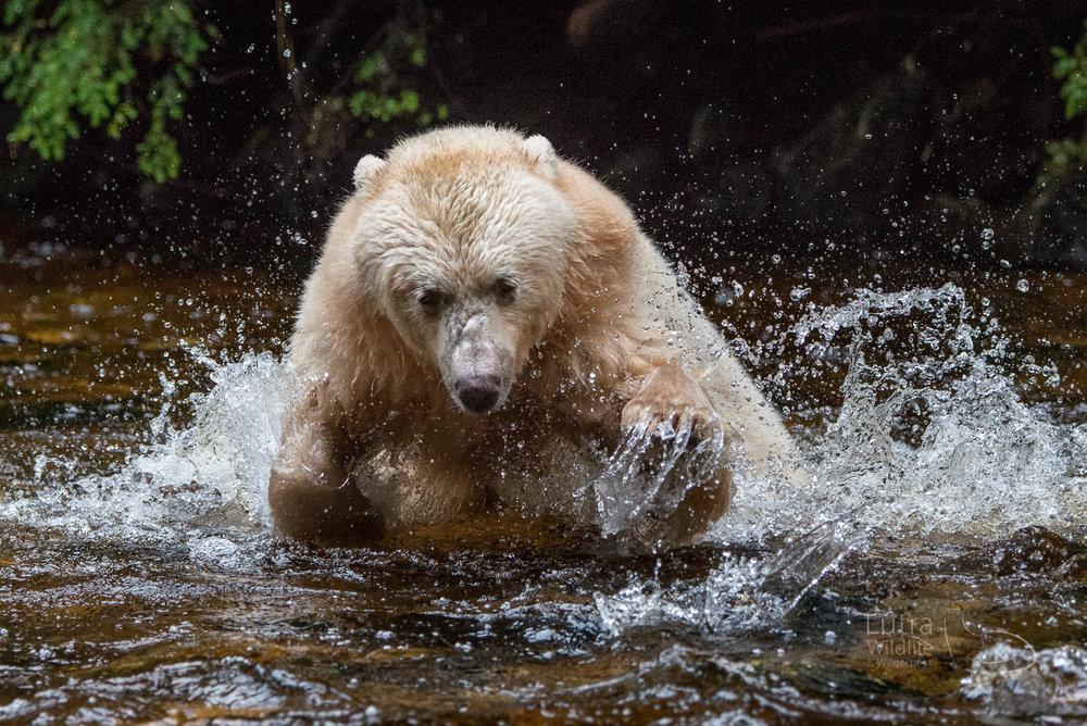Here's Warrior again (she was a big highlight!)- Spirit Bears of the Great Bear Rainforest